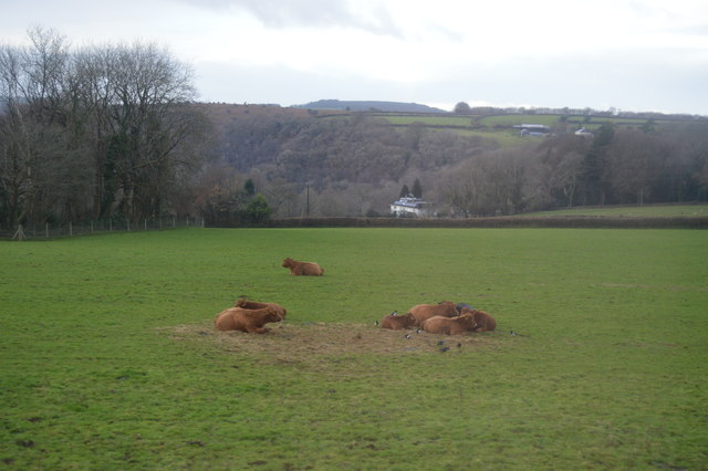 Cattle at rest