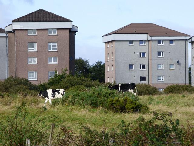 Cows near Slaemuir