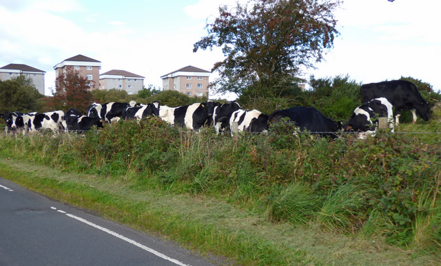 Cows near Slaemuir