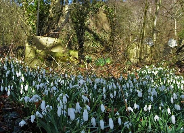 Snowdrops in Stoney Middleton graveyard
