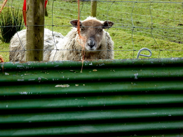 Curious sheep, Aghadulla (Harper)