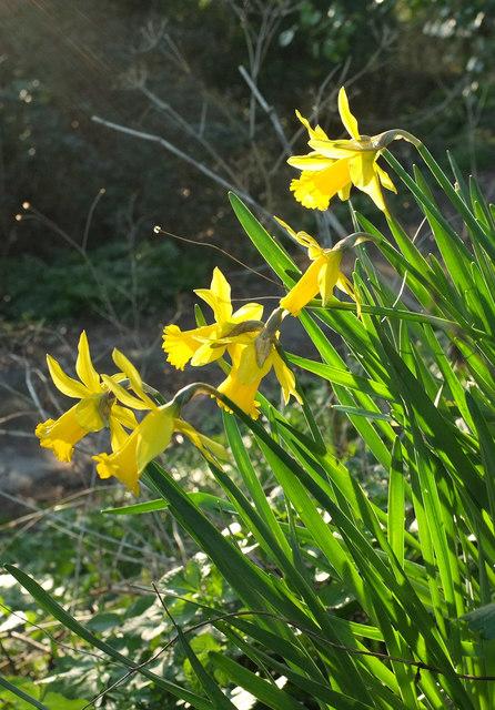 Narcissi, Stantaway Hill