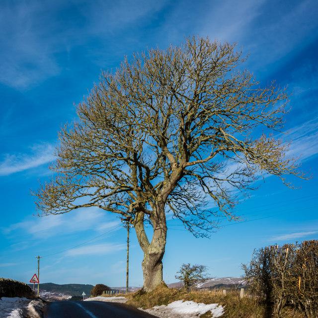 Tree above Sharperton