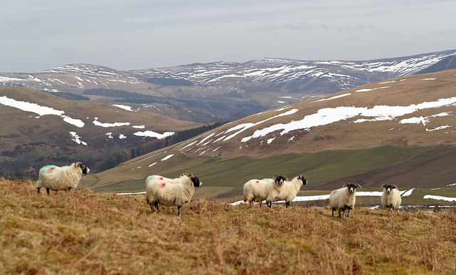 Sheep on Feuars Hill in the Yarrow Valley