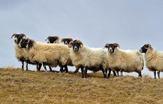 Black-faced ewes on Feuars Hill