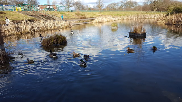 Ducks and Geese on Wildlife Pond in Oakwood Park