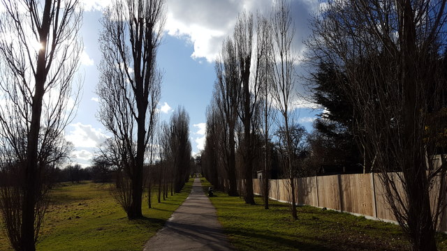 Avenue of Poplar Trees in Oakwood Park