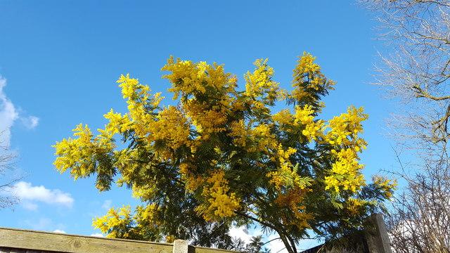 Mimosa in Garden near Oakwood Park