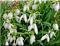 NJ1457 : Snowdrops by the driveway to Pluscarden Abbey by valenta