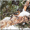 NH9818 : Chaffinch in the snow by valenta