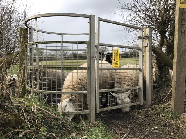 Sheep-infested kissing gate