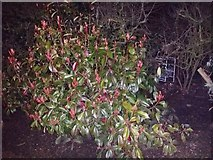 TQ1988 : Bush in Roe Green Park, Kingsbury by David Howard