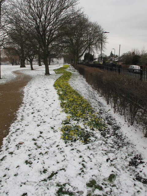 Daffodils in snow, North Acton playing field