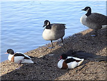 TQ2979 : Waterfowl in St James's Park by Rudi Winter