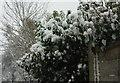 SX9065 : Snow on ivy, Torre by Derek Harper