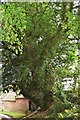 SO6887 : Tedstill Ancient Roadside Yew Shropshire by paul wood