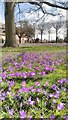 SP2054 : Crocuses in Bancroft Gardens by Philip Halling