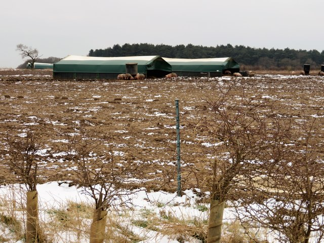Pig farming near Great Bircham in Norfolk