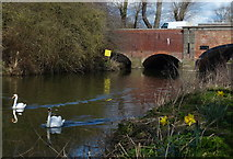 SK5907 : Swans on the River Soar by Mat Fascione