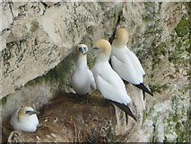 TA1974 : Gannets at Jubilee Corner by Oliver Dixon