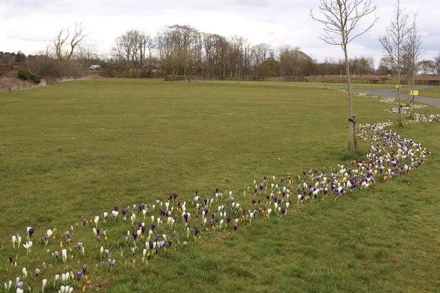 Crocus at Monkton & Prestwick New Cemetery