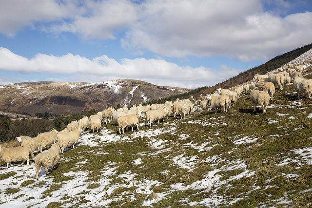 Sheep on Nether Hill