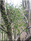 SP9314 : Mistletoe crowing on a fruit tree in the Wildlife Garden at College Lake by Chris Reynolds