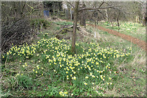 SP9314 : Daffodils in the Wildlife Garden at College Lake by Chris Reynolds
