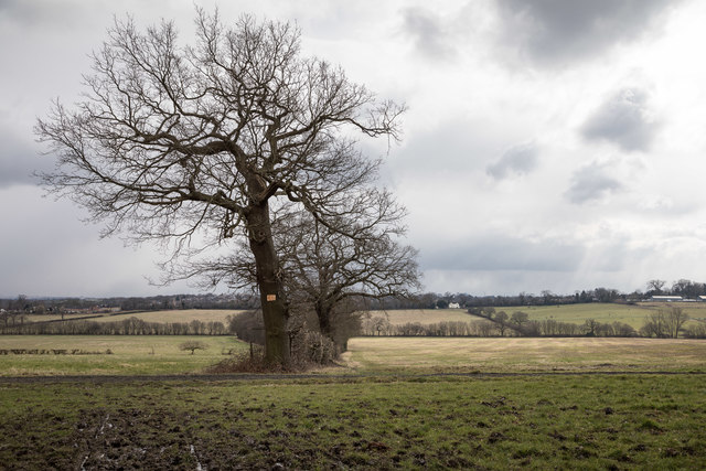 Oak Tree in Field from Williams Wood, Trent Park