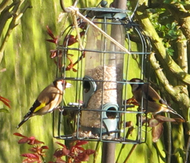 Goldfinches on pigeon-proof bird feeder