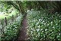 SE8085 : Wild garlic beside a footpath through Lowther Wood by Graham Hogg