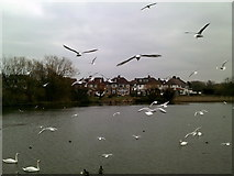 TQ2187 : Seagulls at the Welsh Harp reservoir by Peter S