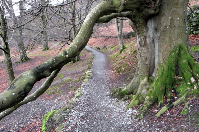 Obliging tree on the Ullswater way
