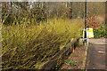 SX8966 : Yellow dogwood, Wren Park by Derek Harper