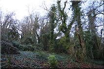 SX9364 : Woodland by South West Coast Path by N Chadwick