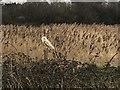 TF7044 : Owl and reeds, Holme next the Sea, Norfolk by Sandra Humphrey