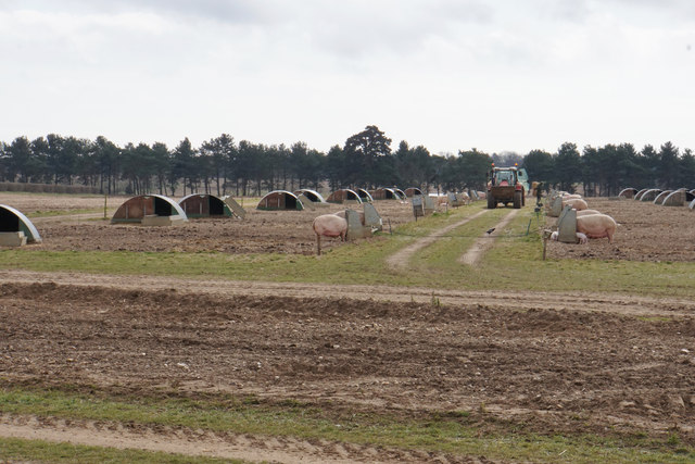 Pig-farming at Sutton Hoo