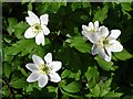 SK5784 : Wood anemones in Wallingwells Woods : Week 14
