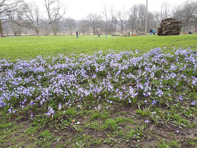 Blue spring flowers at Kirkstall Abbey