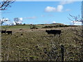 NY1836 : Black cattle on Gregg Hill by Christine Johnstone