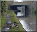 SP0397 : Canada geese near the Sutton Road Bridge by Mat Fascione