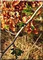 SX9066 : New and old leaves, Nightingale Park by Derek Harper
