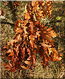 SX9066 : Old oak leaves, Nightingale Park by Derek Harper