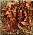 SX9066 : Dead oak leaves, Nightingale Park by Derek Harper
