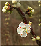 SX9066 : Blackthorn flower, Nightingale Park by Derek Harper