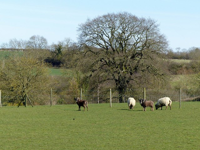 Grazing sheep, Beeby Road
