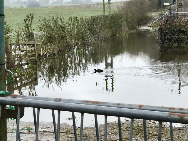 Coot on flooded ground