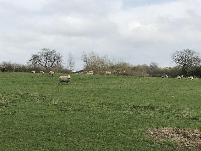 Sheep field near Halmer End