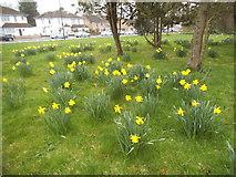 TQ1988 : Daffodils in Roe Green Park, Kingsbury by David Howard