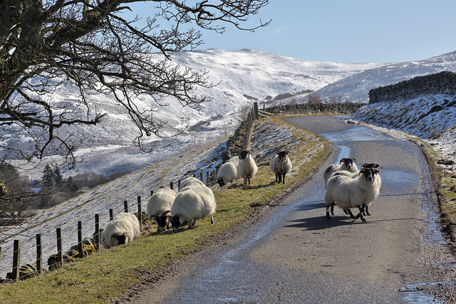 Sheep on the Swire Road in the Yarrow Valley